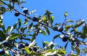 Sloe berries in blackthorn hedgerow
