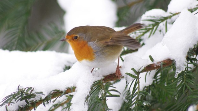 Robin at Nowton Park